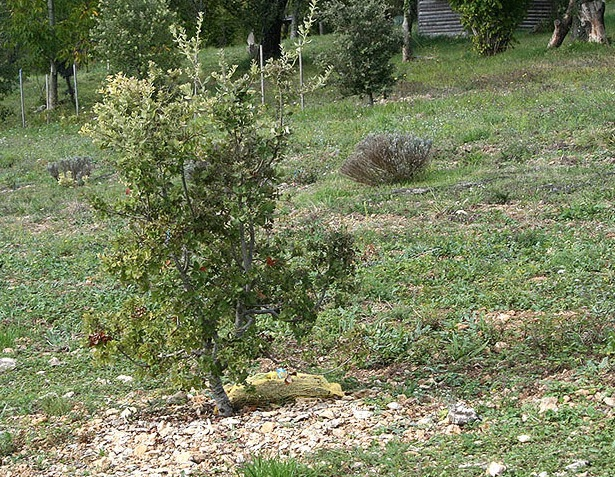 Innoculated truffle tree